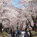 桜の名所 群馬県「赤城南面千本桜」